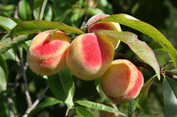 Вот как вырастить персики в зоне риска