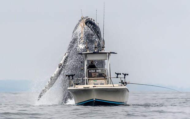 Когда удача настороне фотографа: огромный горбатый кит вынырнул изводы залива Монтерей, аДуглас Крафт успел это сфотографировать