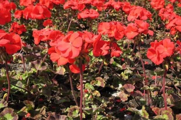 Пеларгония: с подоконника – в цветник