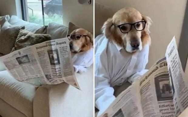 Деловая колбаса: соцсети умилил ретривер, читающий газету