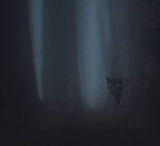 Фотограф два года снимал чёрных пантер