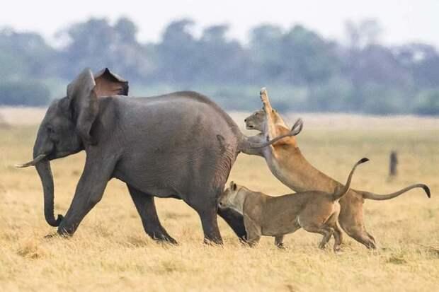 Стадо слонов смогло защитить своего юного сородича от группы голодных львов африка, животные, львы, охота, слоны, спасение, стадо