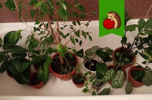 Как нельзя купать комнатные растения: 5 ошибок, которые делают процедуру вредной для цветов