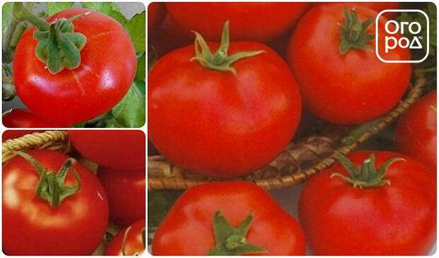 помидоры томаты сорт Аляска