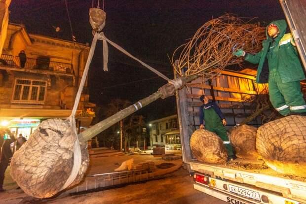 Для Большой Морской улицы в Севастополе купили три сотни деревьев