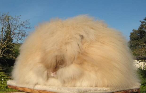 Ангорский кролик: Как живётся породе, которая больше похожа на облако, чем на животное?