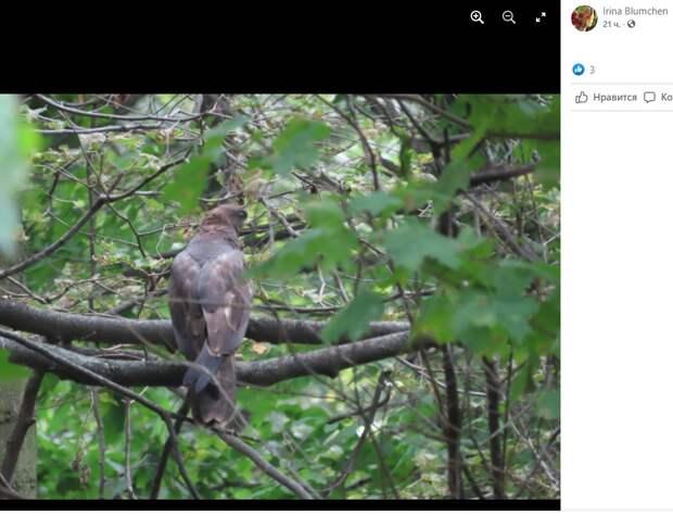 Молодой осоед попал в фотоприцел посетительницы Кузьминского парка