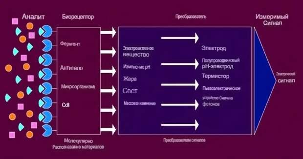 Различные компоненты биосенсора включают биоэлемент, преобразователь, усилитель, процессор и блок отображения.