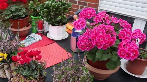 Чтобы обеспечить герани пышное цветение нужно знать три важных правила.