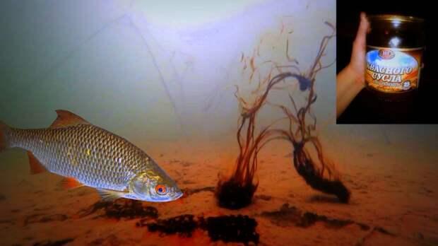 ККС работает 100%! Рыбе нравится КВАС! Подводная съемка