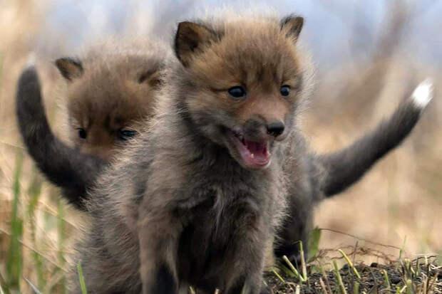 Звёздная пара лис вывела потомство на Камчатке