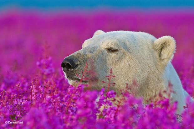 Денис Фаст сфотографировал, как полярные медведи резвятся в цветочном поле-11