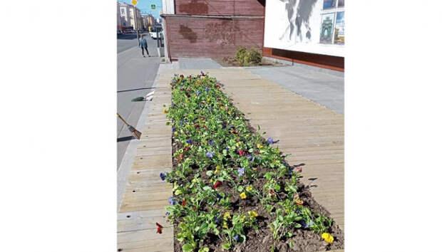 Яркие виолы украсили цветочные клумбы в центре Петрозаводска
