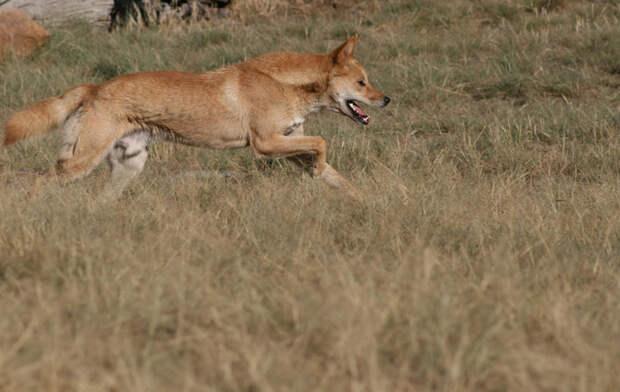 Собака Динго: самый странный хищник мира