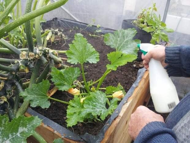 Чем обработать томаты