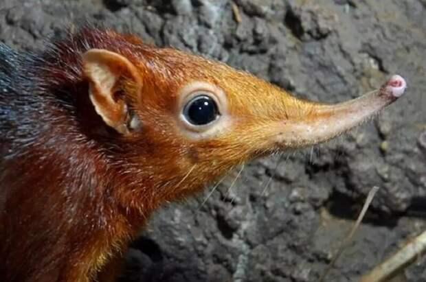 Бурозубка гигантская. Прыгунчиковые — семейство африканских млекопитающих животные, интересное, мир, носатые, природа, фауна