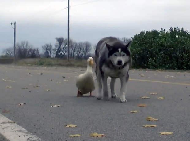 Эта удивительная история дружбы хаски и утки
