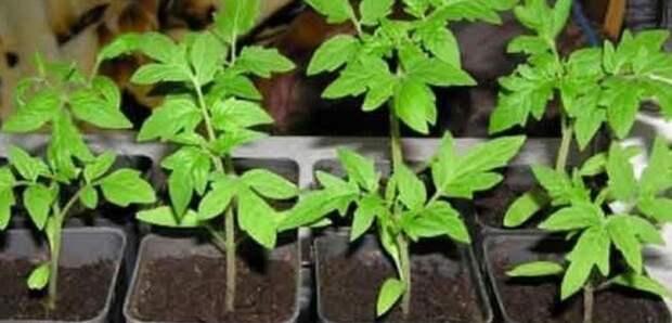 Семена благополучно взошли, что делать дальше? Инструкция, которой я пользуюсь