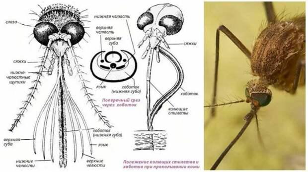 Сколько раз может кусаться один и тот же комар?