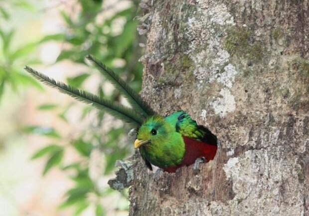 Квезаль или кетцаль (лат. Pharomachrus mocinno) (англ. Resplendent Quetzal)