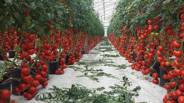 Маленькие аккуратные помидоры черри