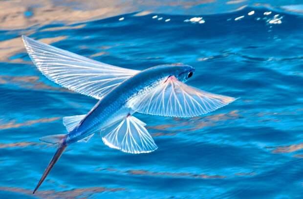Летучие рыбы - от божества до деликатеса