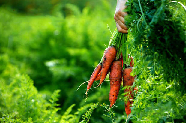 органическое земледелие на собственном огороде