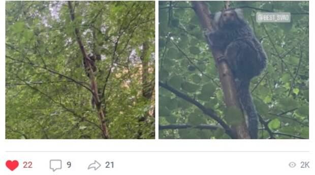 Фото дня: обезьяна-игрунок на дереве в Бабушкинском