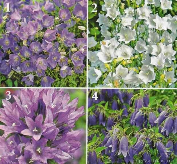 Выращивание колокольчиков — цветение 2 раза за лето