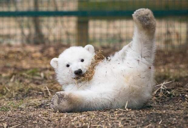 Первый за четверть века полярный медвежонок, рожденный в шотландском зоопарке Highland Wildlife Park, оказался мальчиком великобритания, детеныш, животные, медвежонок, пол, полярный медведь, шотландия
