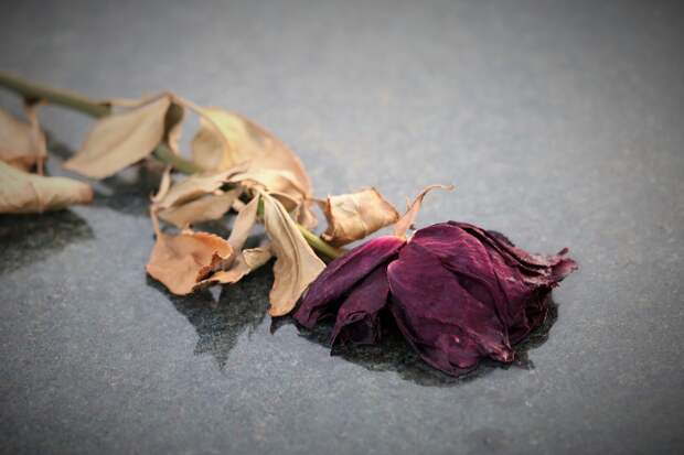 сухая роза, цветок завял, высохший цветок