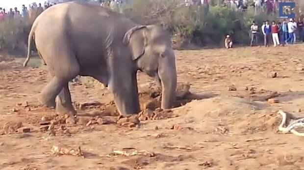 Слониха рыла яму 11 часов: узнав зачем у людей не было слов