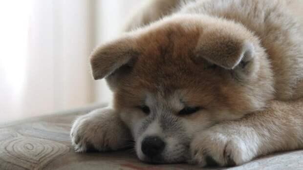 Собаки оказались способны переживать стресс одновременно с хозяином