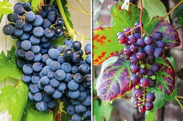 Щедрый дар: интересные сорта винограда для средней полосы
