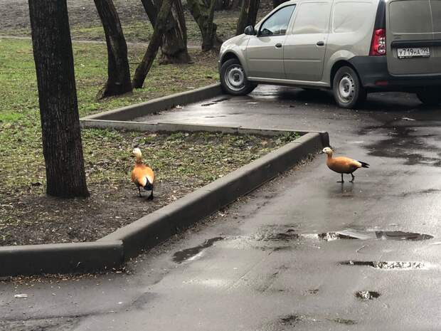 Фото дня: на Анненской улице гуляла пара огарей