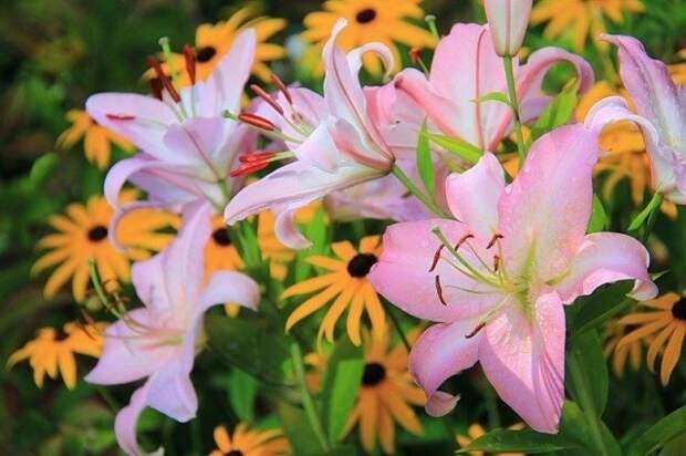 Как выращивать лилии в горшках и кадках?