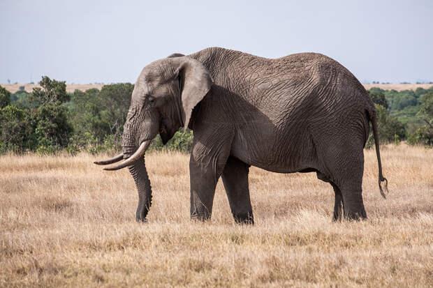 СМИ сообщили о спорах британцев о судьбе слона