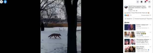 На улице Максимова жители заметили испуганную лису
