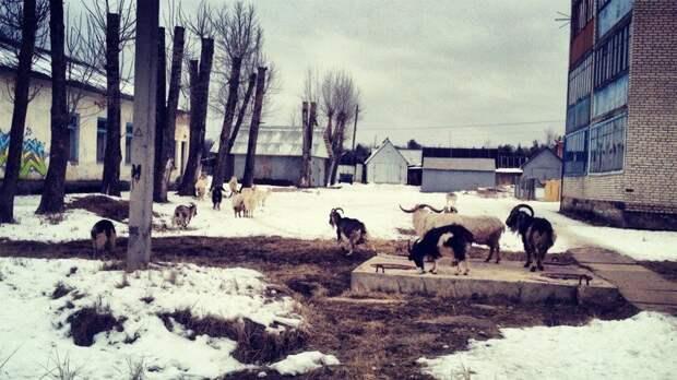 Когда сталкиваются город и деревня: сельская живность на городских улицах город, домашние животные, контраст, село, эстетика