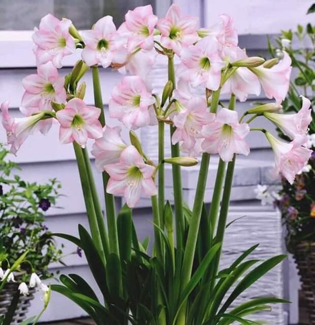 Розовый амариллис