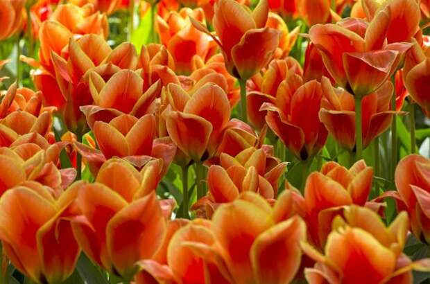 Самые некапризные и неприхотливые виды и сорта ботанических тюльпанов