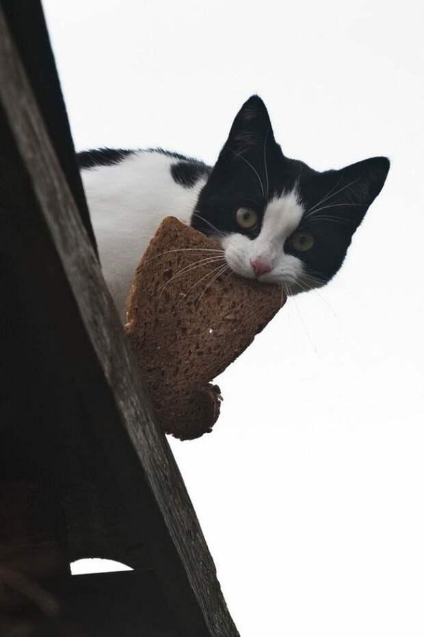 Охота на хлеб — древнее и опасное ремесло всех котоптиц. весна, коты, прикол