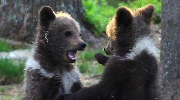 Не каждый день увидишь, что творится в семье медведей, но фотографу повезло