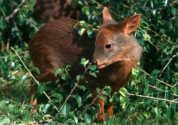 Пуду — самые маленькие олени в мире