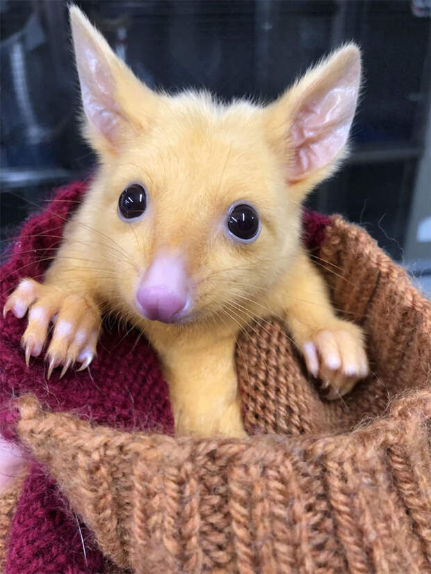 Пикачу существует! Его нашли ветеринары в Австралии