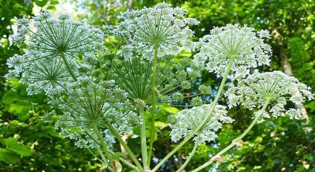 На Покровской удалили ядовитые растения — управа