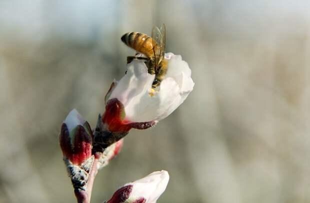 Пчела на цветущей яблоне
