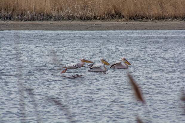 Впервые за 20 лет в «Птичьей гавани» остановились розовые пеликаны