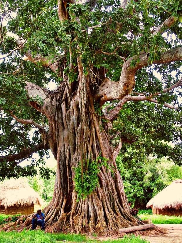 Баобабовый лес во всю Африку!