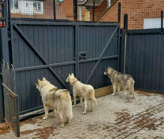 Лайфхак для любопытных: британец сделал дырки в заборе, чтобы собаки следили за улицей